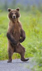 A young sow grizzly bear standing up to get a better view.