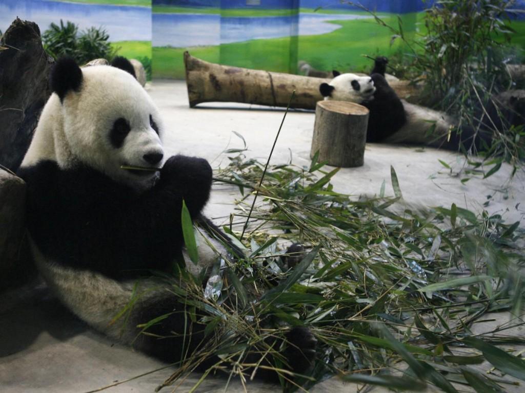yuan-yuan-taiwan-panda